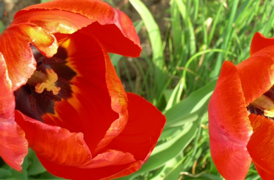 2_tulips_resize.jpg