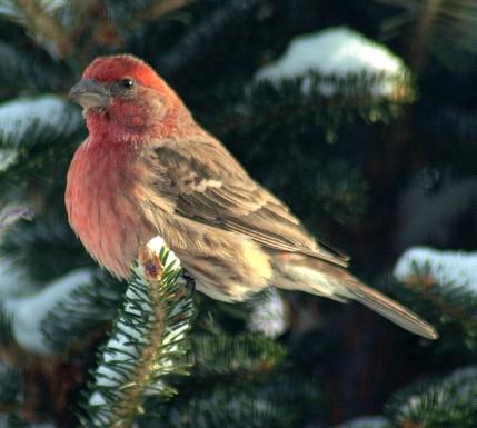 bird_on_pine_tree.jpg