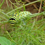 Swallowtail_Caterpillar_bronze_fennel_2010_068.jpg