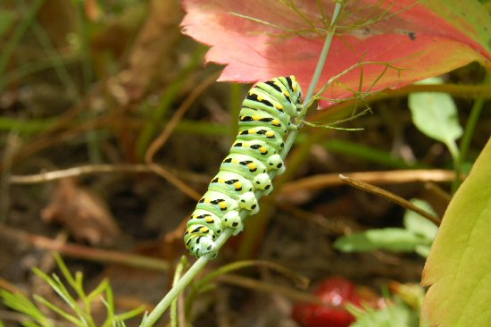 Swallowtail_Caterpillar_web_2010_2010_013.jpg
