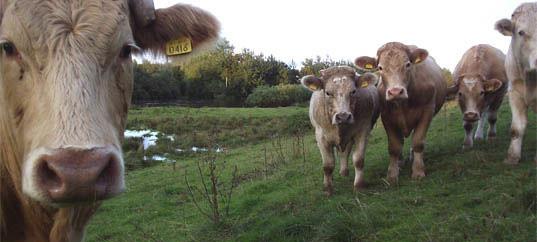 cows_SKINNY.jpg